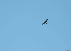 Predatory bird soaring in the clouds eagle, falcon, hawk.
